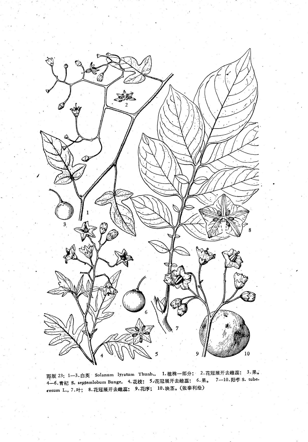 藤本植物手绘黑白